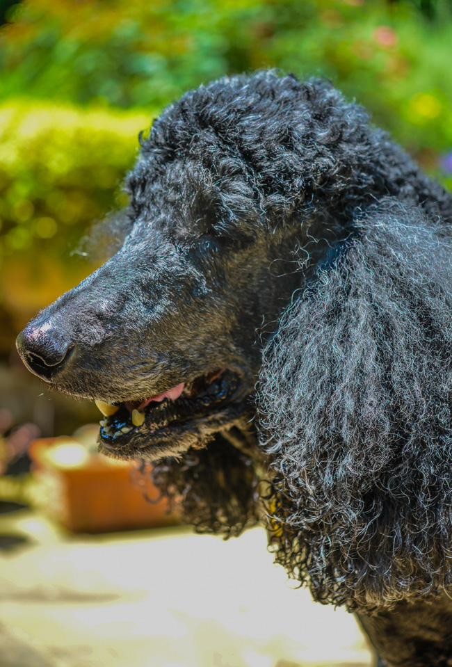 Greeley the Standard Poodle